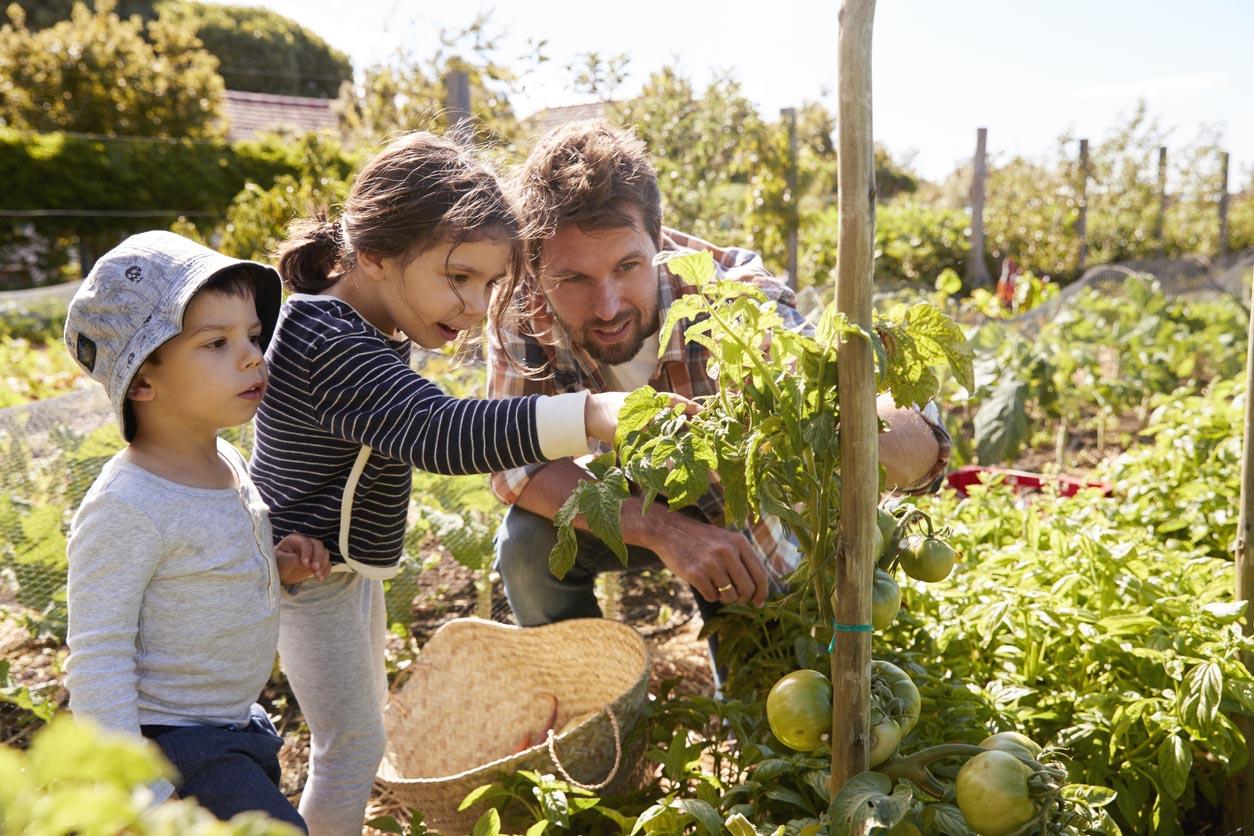 Père et enfants regardant les tomates qui poussent dans le potager